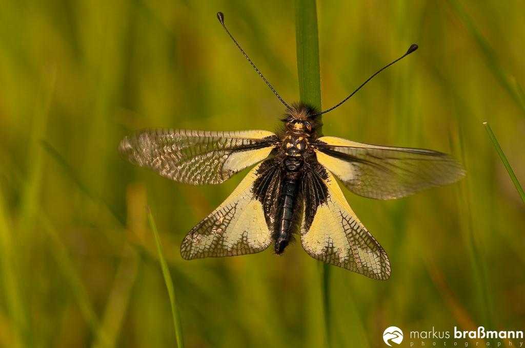 Schmetterlingshaft (50 von 52)
