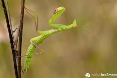 Mantis religiosa (89 von 115)
