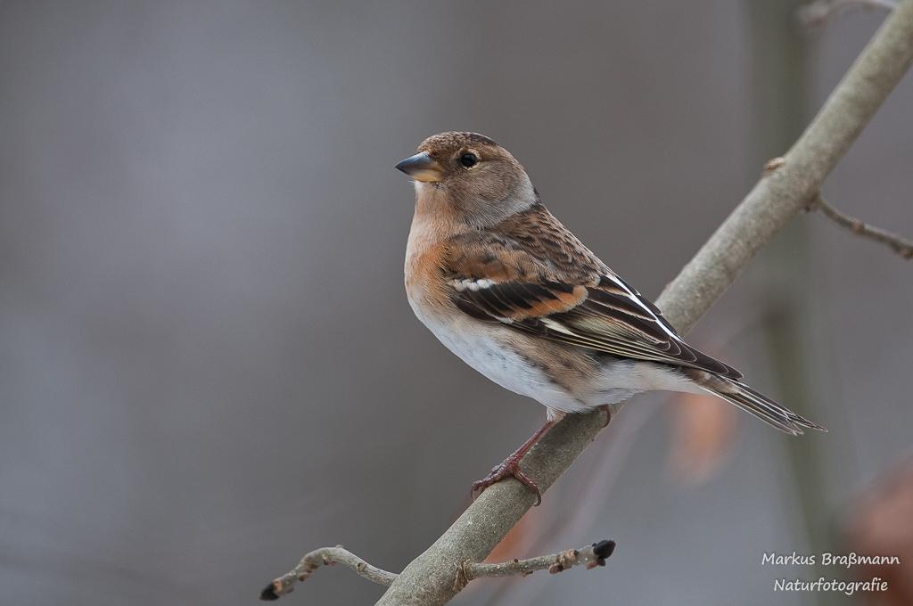 Bergfink_Weibchen (1 von 1)